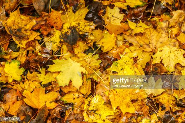 High Angle View Of Yellow Maple Leaf Fallen Leaves