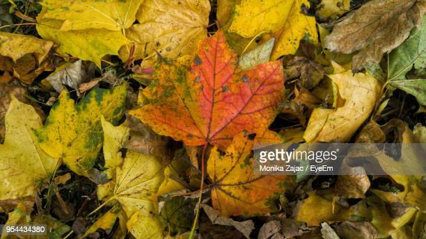 High Angle View Of Yellow Maple Leaf In Forest