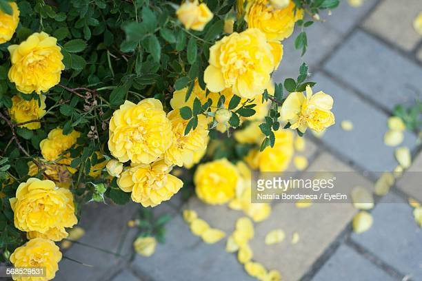 High Angle View Of Yellow Roses Blooming Outdoors