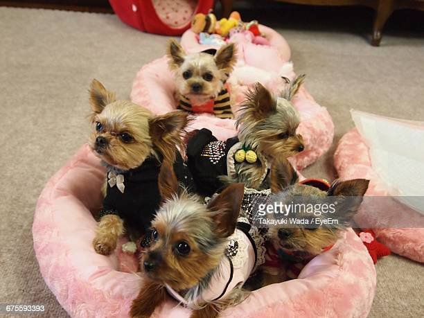 High Angle View Of Yorkshire Terrier Puppies In Pet Bed At Home