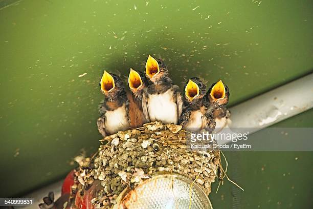 high angle view of young birds with mouth open at nest - swallow bird stock pictures, royalty-free photos & images