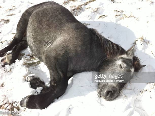 High Angle View On Pony Sleeping On Snow Covered Field