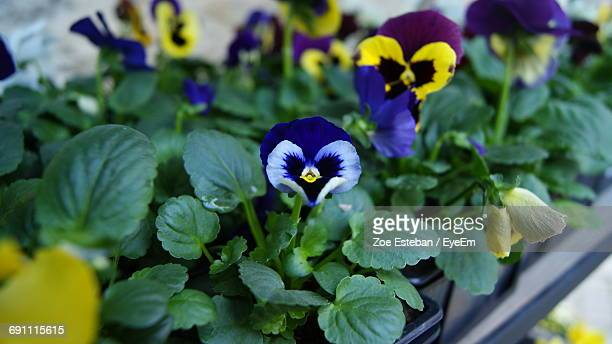 High Angle View Pansy Flowers Growing In Back Yard