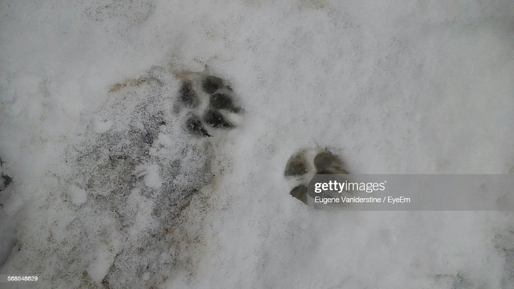 High Angle View Paw Print On Snow Covered Field : Stock Photo