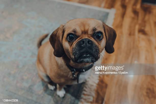 high angle view portrait of a puggle sitting on a floor at home, looking at the camera. - puggle stockfoto's en -beelden