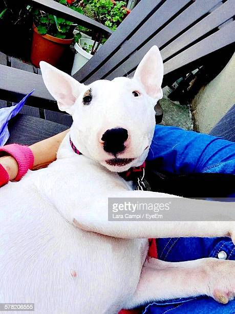 high angle view portrait of bull terrier relaxing at balcony - bull terrier stock photos and pictures