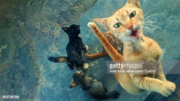 High Angle View Portrait Of Cat With Kittens On Floor