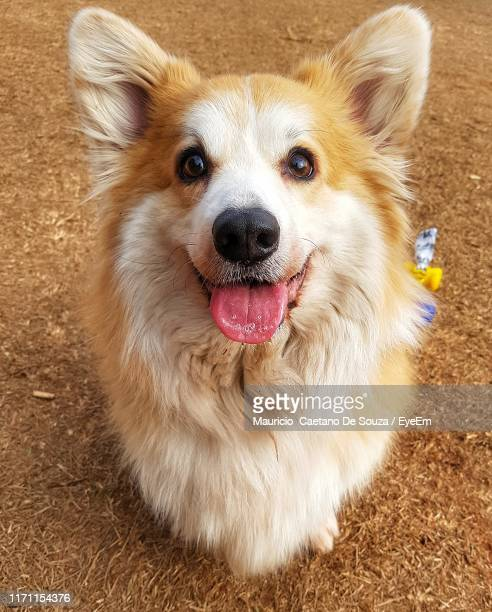 high angle view portrait of dog on land - mauricio caetano de souza stock photos and pictures