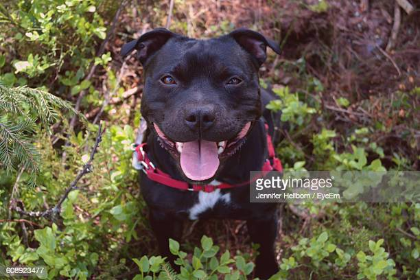 high angle view portrait of staffordshire bull terrier on field - staffordshire bull terrier stock pictures, royalty-free photos & images