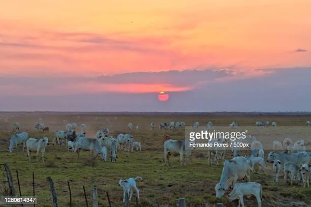 high angle view sheep on field against sky during sunset, mantecal, apure, venezuela - paisajes de venezuela fotografías e imágenes de stock