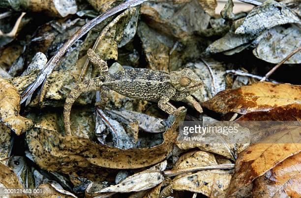 High casqued chameleon (Chamaeleo hoehnelii) in leaves