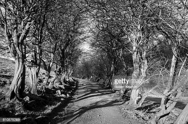 High contrast image of a lane edged with old gnarled Hawthorn trees casting strong shadows on the farm track. Black and white image taken on the...