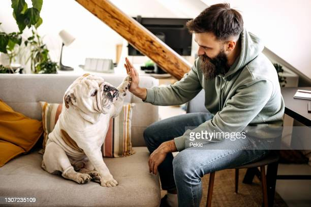 high five - english bulldog stock pictures, royalty-free photos & images
