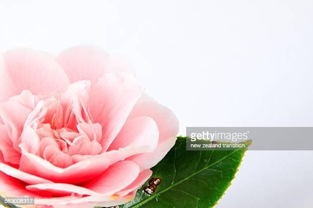 High key camellia