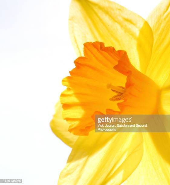 high key close up of daffodil against white - daffodil stock pictures, royalty-free photos & images