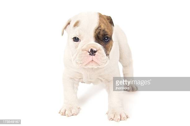 High Key English Bull Dog Puppy