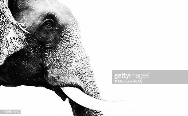 high key image of elephant head