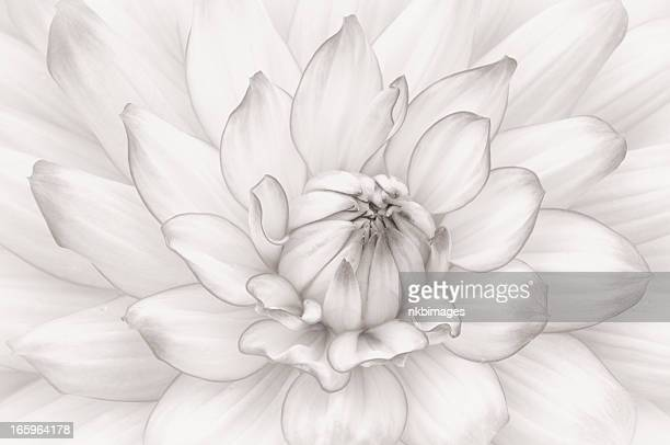 High key monochromatic white dahlia flower full frame
