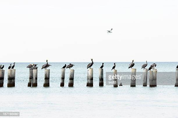 high key pelicans and cormorants - naples florida stock pictures, royalty-free photos & images