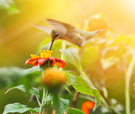 High Key photo of Ruby-Throated Hummingbird and Zinnias 1208896233