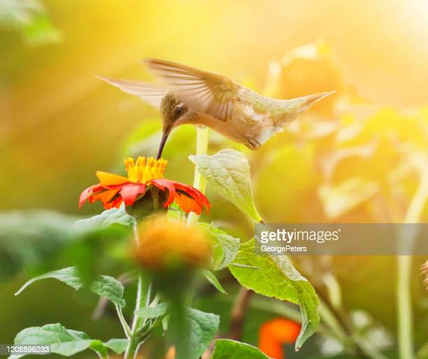 high key photo of ruby-throated hummingbird and zinnias - hummingbird stock pictures, royalty-free photos & images