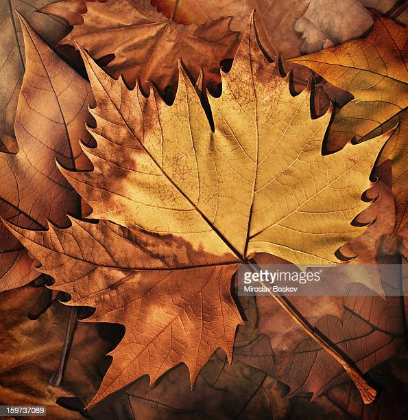 High Resolution Dry Maple Leaf Isolated On Autumn Foliage Background