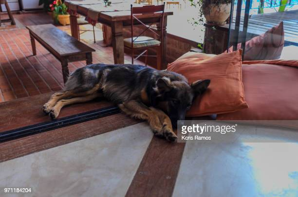 high resolution horizontal photograph, dog lying on pillows, on porch of house, german shepherd breed, black and caramel, - cão stock pictures, royalty-free photos & images