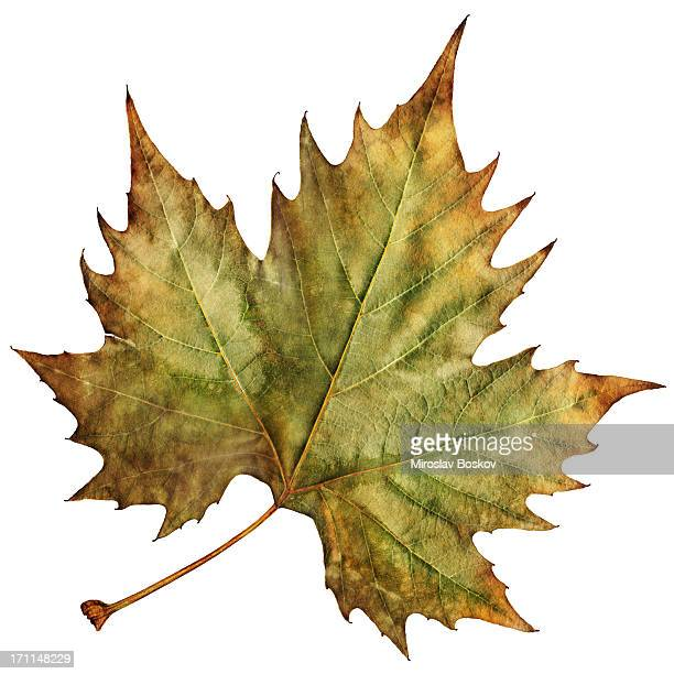 high resolution isolated autumn dry maple leaf - maple leaf stock photos and pictures