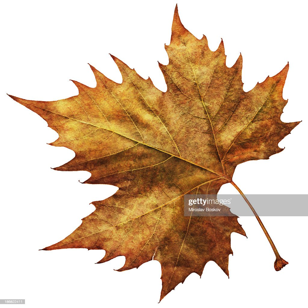 High Resolution Isolated Autumn Dry Maple Leaf : Stock Photo