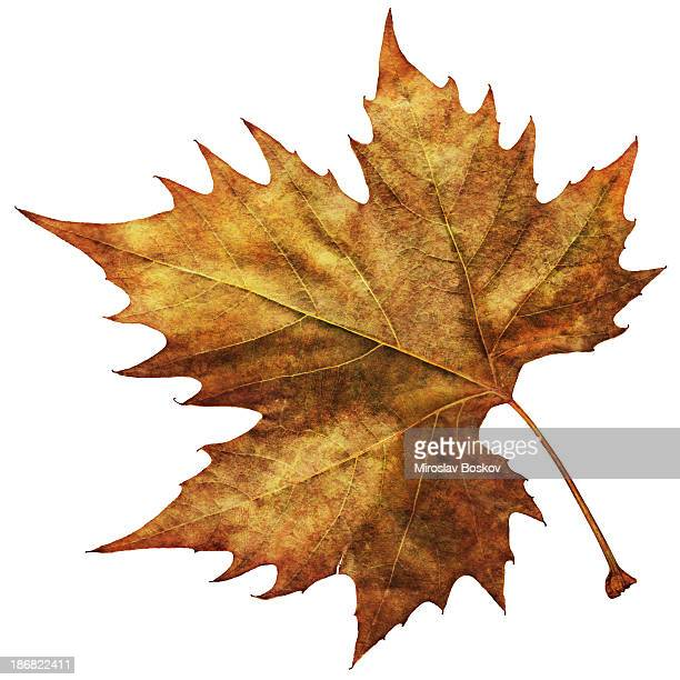 high resolution isolated autumn dry maple leaf - brown stock pictures, royalty-free photos & images