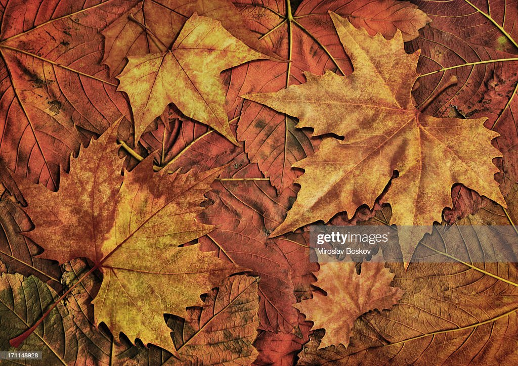 High Resolution Isolated Maple Dry Leaves On Autumn Foliage