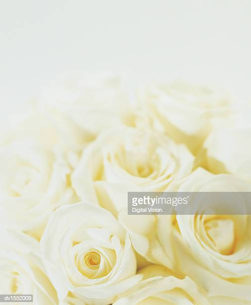 High Section View of a Bunch of White Roses