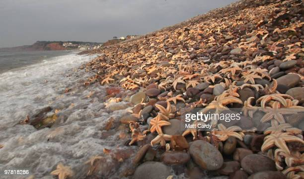 High tide waves wash over some of the thousands of starfish that have been washed up on the beach at Budleigh Salterton on March 18 2010 in Devon...
