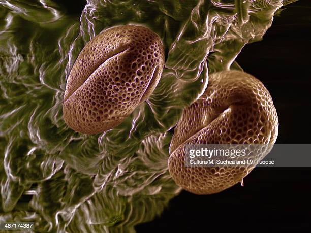 High vacuum SEM of Brassica rapa oleifera pollen grains