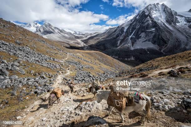 high valley on the way to jichu dramo, wangdue phodrang district, snowman trek, bhutan - bhutan stock pictures, royalty-free photos & images