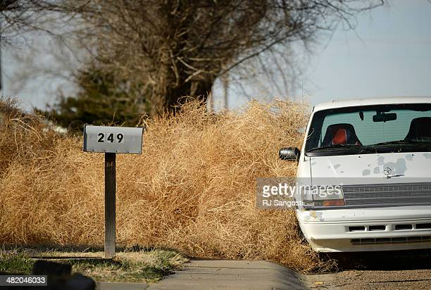 High winds piled up tumbleweeds in Springfield Monday March 31 2014 Years of drought in southeast Colorado is causing Russian Thistle to grow out of...