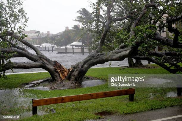 High winds split a large tree in the Coral Beach neighborhood as Hurricane Irma hits the southern part of the state September 10 2017 in Fort...