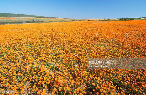 high-angle view of a field of daisies - ナマクワランド ストックフォトと画像