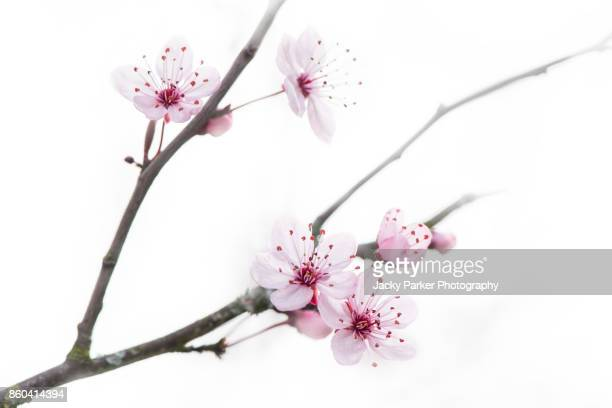 a high-key image of pink black cherry plum pink blossom flowers against a white background, also known as prunus cerasifera nigra - bloesem stockfoto's en -beelden