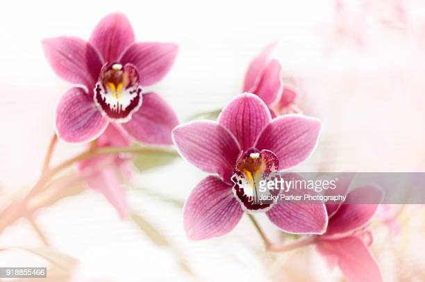 A high-key image of Pink Cymbidium Orchid flowers against a soft white background