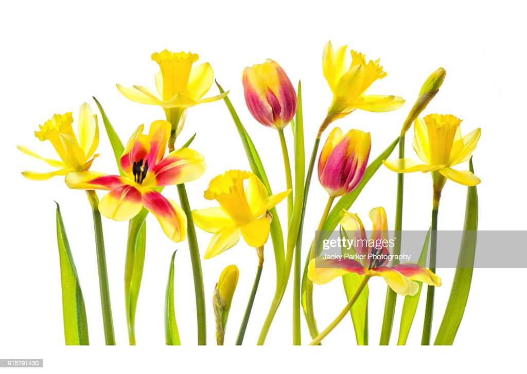 High-key image of vibrant red and yellow tulips and yellow daffodils against a white background : Stock Photo