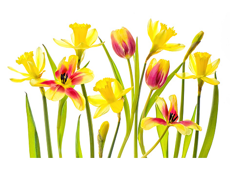 High-key image of vibrant red and yellow tulips and yellow daffodils against a white background - gettyimageskorea
