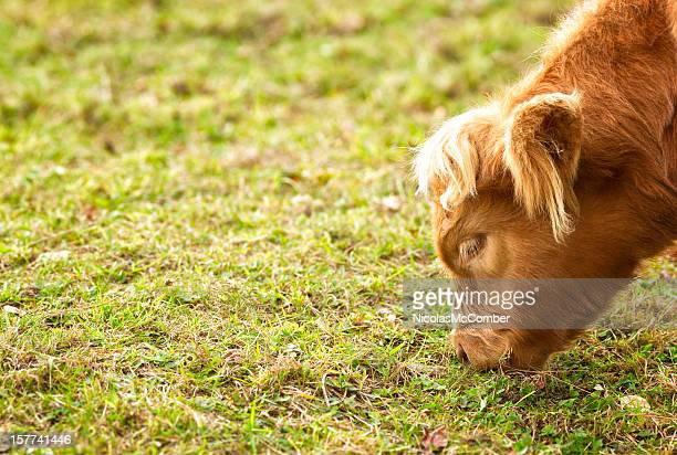 highland calf grazing close-up - eastern townships stock pictures, royalty-free photos & images