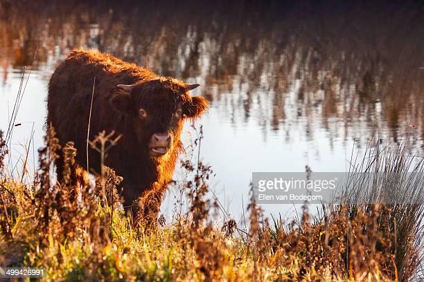 Highland calf in morning sun