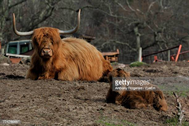 Highland Cattle And Calf