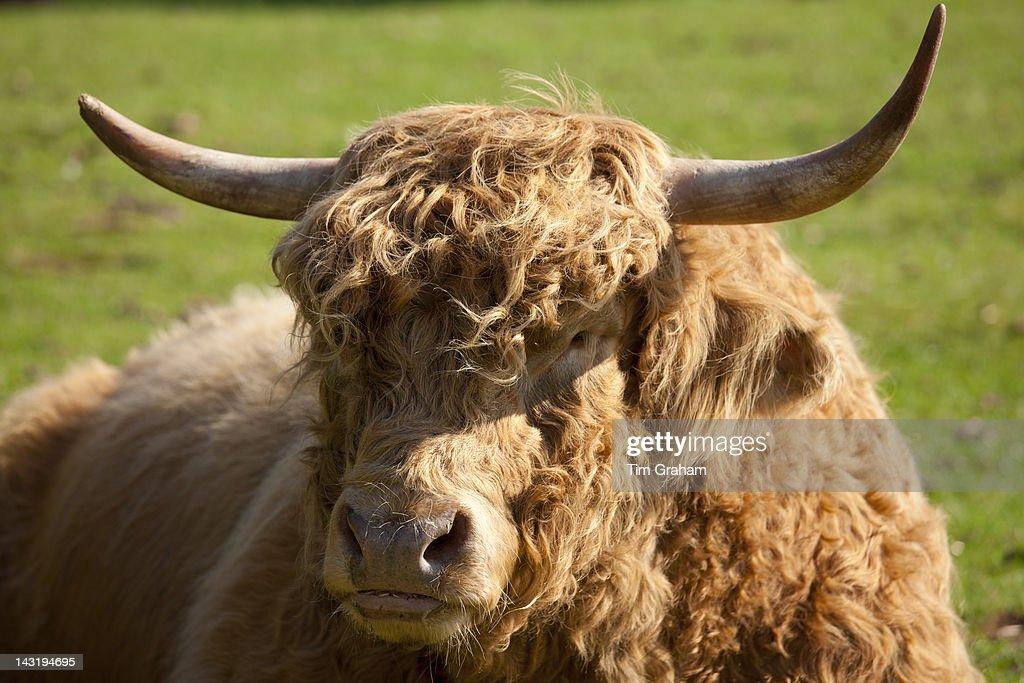 Highland Cattle Bull, UK : News Photo