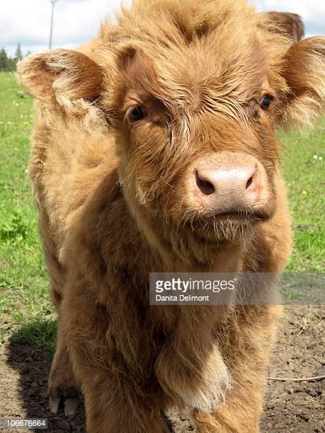 Highland Cattle calf, near Dufftown, Baniffshire, Scotland, UK