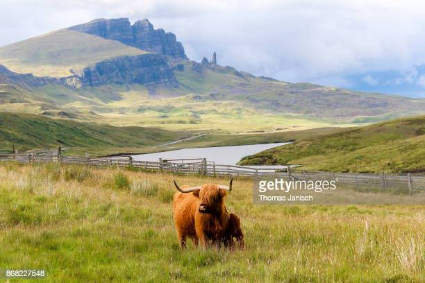Highland cattle cow and calf at Loch Leathan with The Old Man of Storr in the back, Scotland