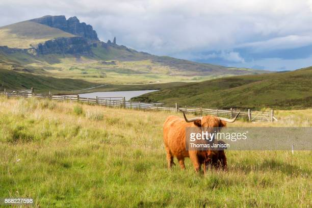 highland cattle cow and calf at loch leathan with the old man of storr in the back, scotland - scottish culture stock pictures, royalty-free photos & images