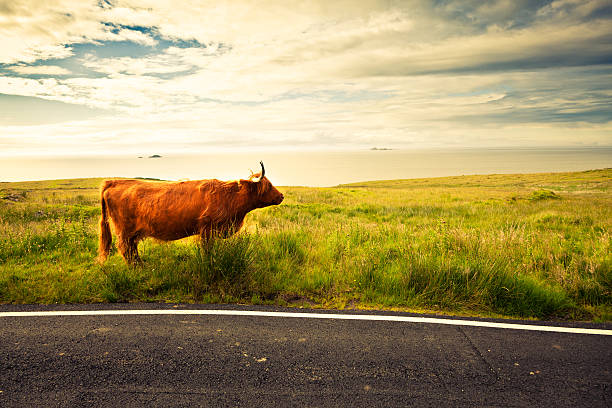 Highland Cattle Cow In Scotland Wall Art